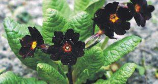 صورة معلومات عن زهرة السوسنة السوداء , اجمل صور الزهرة السوداء