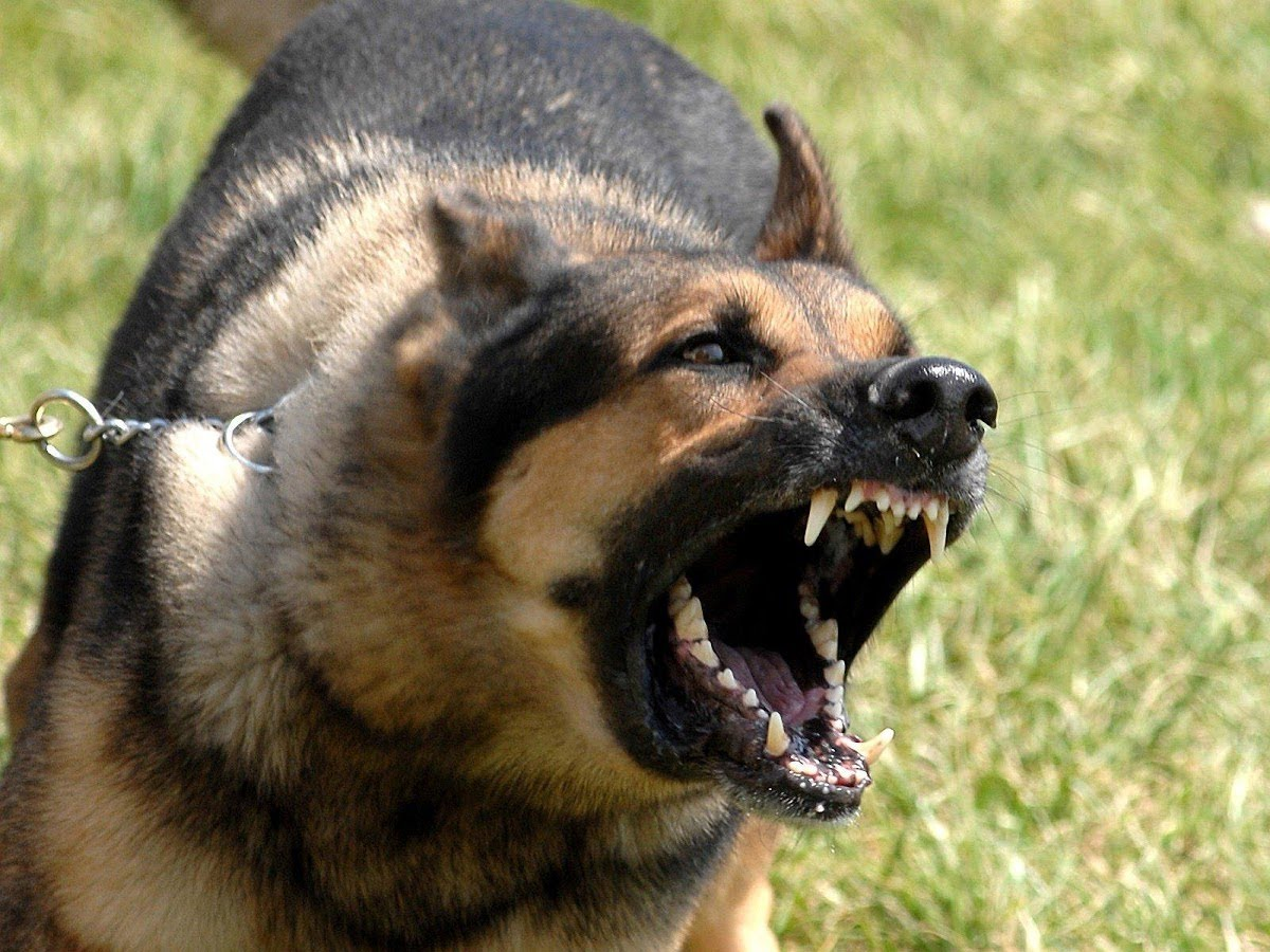 صورة اقوى كلب فى العالم , صور اشرس انواع الكلاب