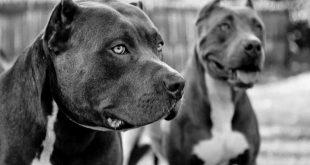 اقوى كلب فى العالم , صور اشرس انواع الكلاب