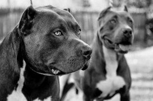 صوره اقوى كلب فى العالم , صور اشرس انواع الكلاب