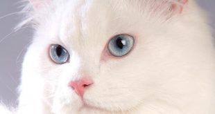 الفرق بين القط السعودي والقط اللبناني , صور رائعة و مختلفة لافضل القطط
