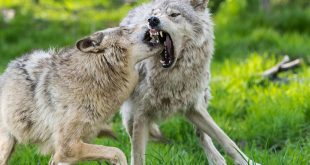 صور عندما تغضب الحيوانات , اروع صور لحيوان غاضب ومفترسه جدا