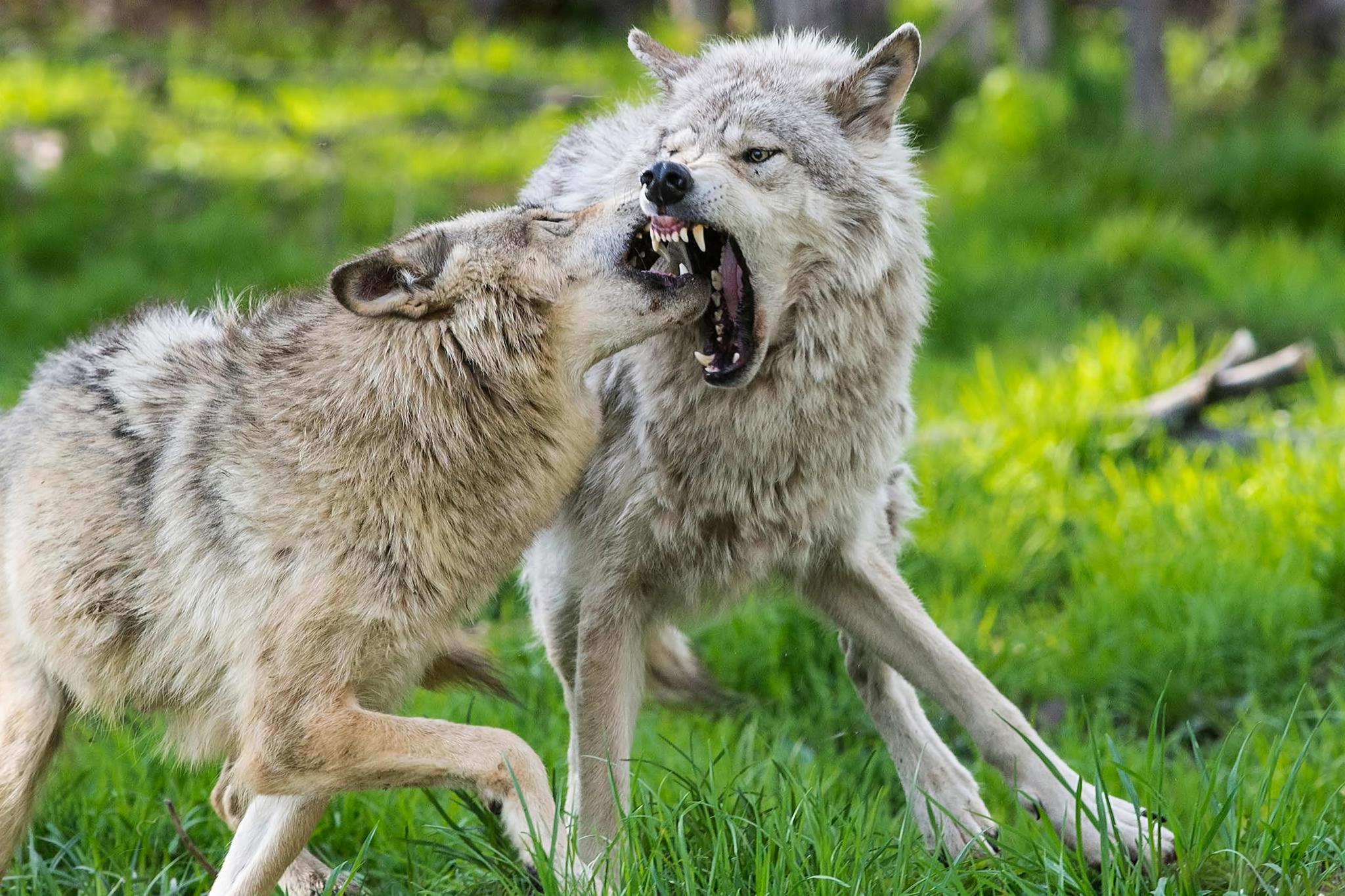 صوره عندما تغضب الحيوانات , اروع صور لحيوان غاضب ومفترسه جدا