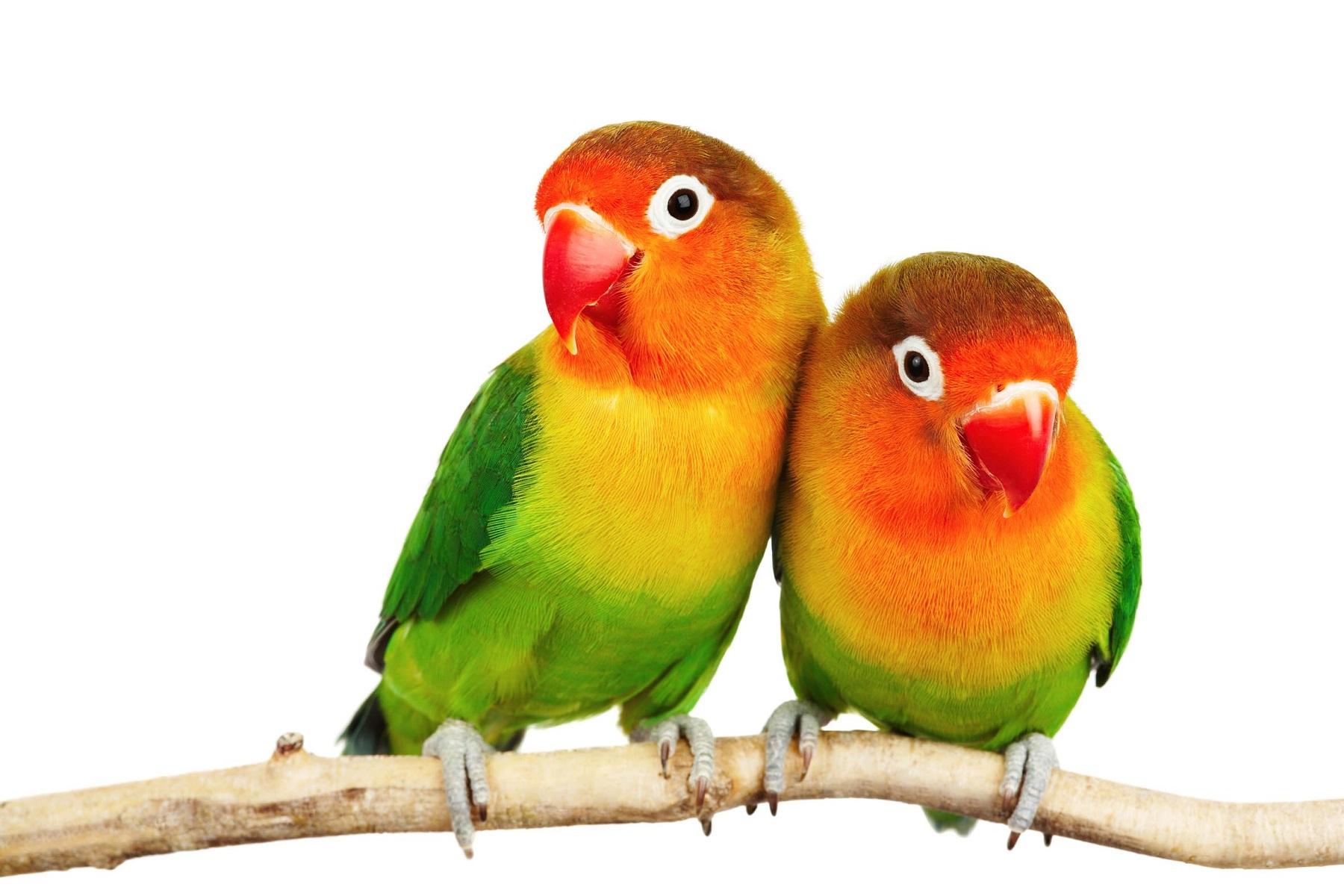صورة اجمل انواع طيور الكناري , صور طيور روعة