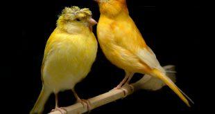 بالصور اجمل انواع طيور الكناري , صور طيور روعة 3979 10 310x165