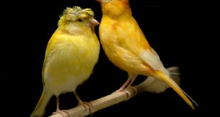 اجمل انواع طيور الكناري , صور طيور روعة