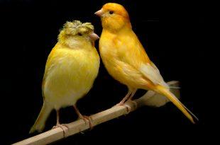 صور اجمل انواع طيور الكناري , صور طيور روعة