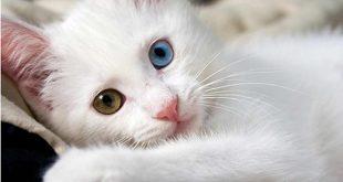 اجمل قطه بالعالم , صور لقطط روعة