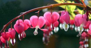 زهرة القلب النازف , اغرب انواع الزهور و اكثرها خطورة