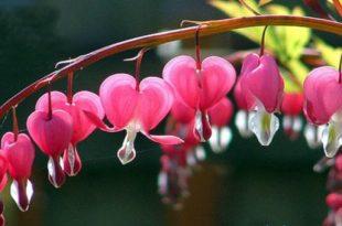 صوره زهرة القلب النازف , اغرب انواع الزهور و اكثرها خطورة