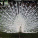 اجمل طاووس في العالم , جمال الالوان الزاهية