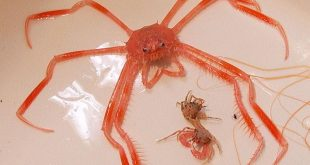 بالصور مخلوقات بحرية غريبة ظهرت بعد طوفان تسونامي , كائنات عجيبة جرفتها امواج تسونامي 89 10 310x165