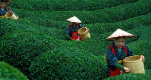 صور مزارع الشاي , طبيعة خلابة ساحرة تبهر الناظر اليها