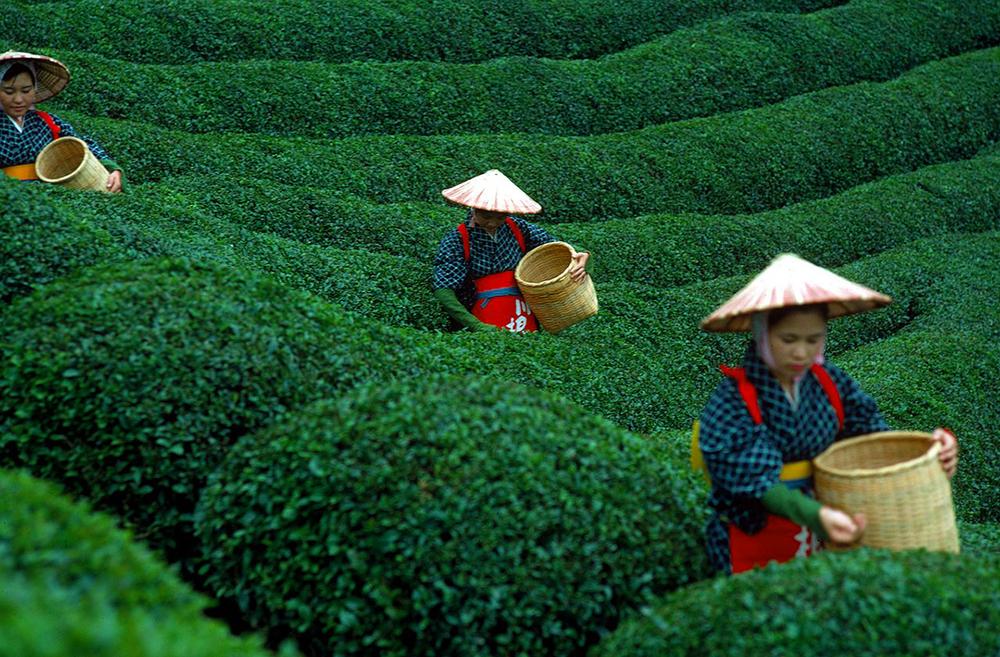 صورة صور مزارع الشاي , طبيعة خلابة ساحرة تبهر الناظر اليها