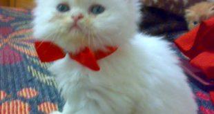 صور قطوه للبيع , قطط صغيرة باسعار مناسبة للجميع