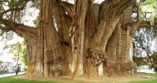 صوره اكبر شجره بالعالم , كم يبلغ عمرها وطولها