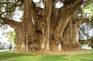 صورة اكبر شجره بالعالم , كم يبلغ عمرها وطولها