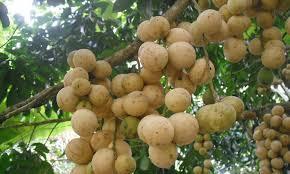 بالصور اغرب الفواكه في العالم , شاهد فاكهة باشكال غريبة 11033 1