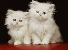 صور صور احلى قطط , تعالو نشوف الصور المختلفة لهذة المخلوقات الجميلة