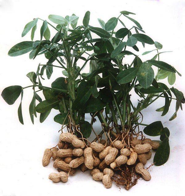 صورة شجرة الفول السوداني , تعالو نشوف احلي الصور