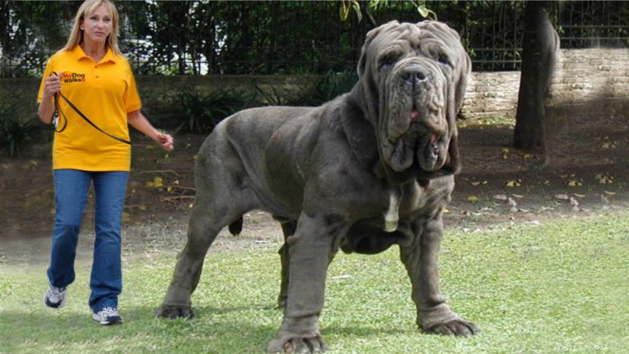 صوره اضخم كلاب في العالم , تعالو نشوف صور كثيرة ومختلفة