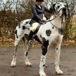 اضخم كلاب في العالم , تعالو نشوف صور كثيرة ومختلفة