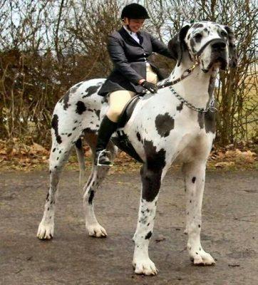 بالصور اضخم كلاب في العالم , تعالو نشوف صور كثيرة ومختلفة 11142 9