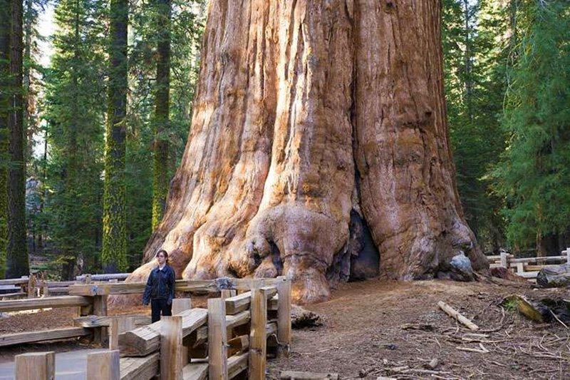 صوره اضخم شجرة في العالم , منفعه ام ضرر؟؟