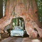 اضخم شجرة في العالم , منفعه ام ضرر؟؟