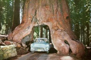 صورة اضخم شجرة في العالم , منفعه ام ضرر؟؟