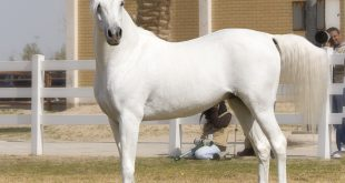 اجمل الخيول العربية الاصيلة , تجمع بين الجودة والثروة