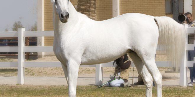 صوره اجمل الخيول العربية الاصيلة , تجمع بين الجودة والثروة