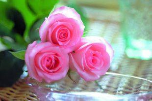 صورة صور احلى الورود , ورود ليس لها مثيل