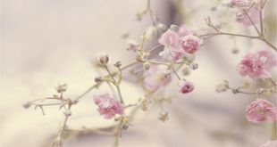 خلفيات ورود ناعمة , الورود رمز الومانسية