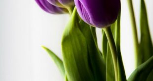 اجمل خلفيات ورود , زهور الربيع جميلة