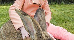 صوره اكبر ارنب بالعالم , ارنب اطول من الانسان
