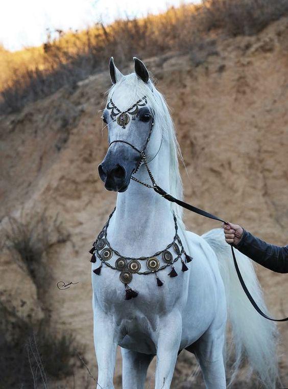 صور الخيول العربيه الاصيله , صور حصان عربي