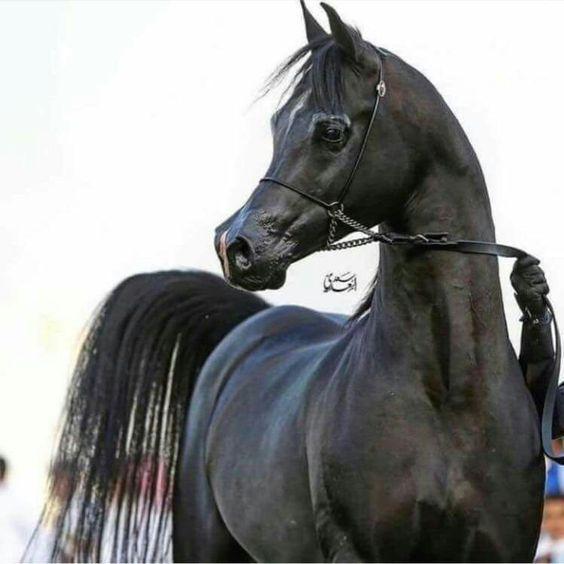 بالصور الخيول العربيه الاصيله , صور حصان عربي 10660 2