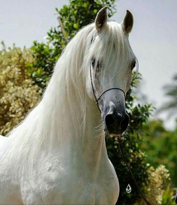 بالصور الخيول العربيه الاصيله , صور حصان عربي 10660 3