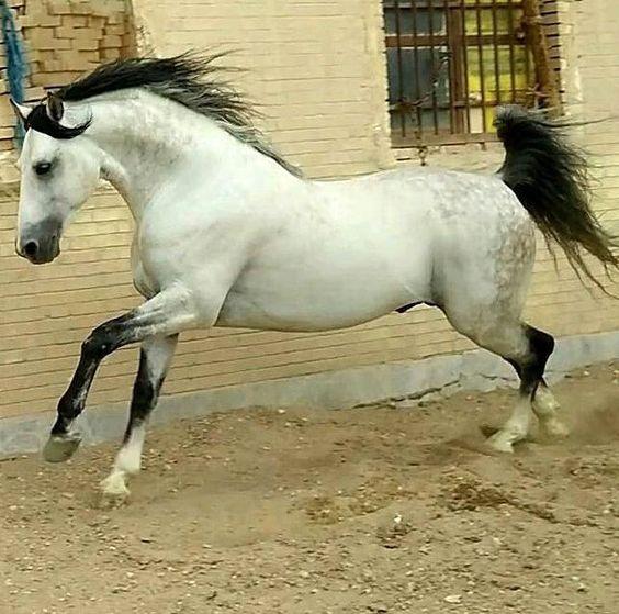 بالصور الخيول العربيه الاصيله , صور حصان عربي 10660 4