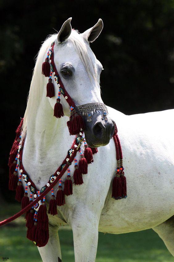 بالصور الخيول العربيه الاصيله , صور حصان عربي 10660 5