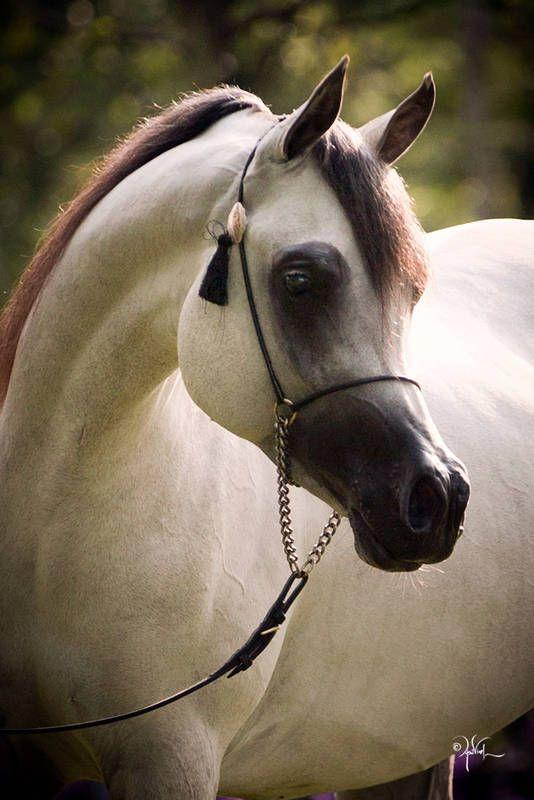 بالصور الخيول العربيه الاصيله , صور حصان عربي 10660 9