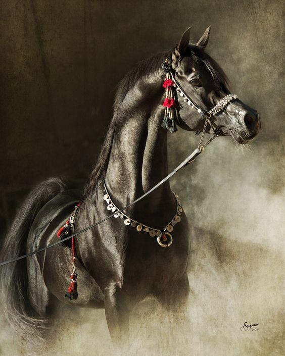 صورة الخيول العربيه الاصيله , صور حصان عربي