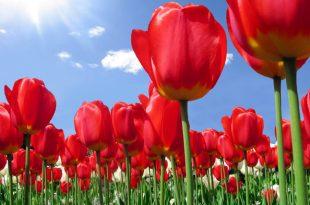 صورة خلفيات ورود hd , تصاميم وصور زهور