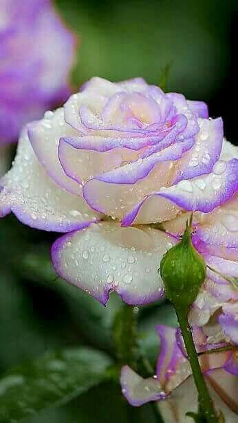بالصور خلفيات ورود روعه , زهور عالم الجميلة 10826 7