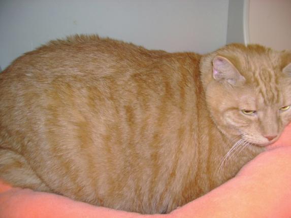 بالصور اكبر قطة بالعالم غير القطة السابقة , البعض ممكن مايصدق 2500 2