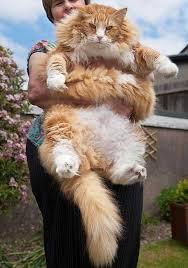 بالصور اكبر قطة بالعالم غير القطة السابقة , البعض ممكن مايصدق 2500 5