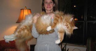 بالصور اكبر قطة بالعالم غير القطة السابقة , البعض ممكن مايصدق 2500 8 310x165