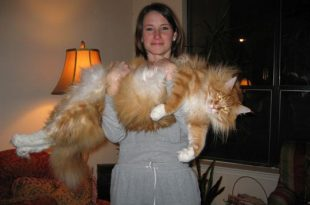 صورة اكبر قطة بالعالم غير القطة السابقة , البعض ممكن مايصدق
