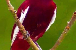 بالصور صور غريبه وجميله , سبحان الخالق اجمل طيور بالوان رائعة unnamed file 1 310x205